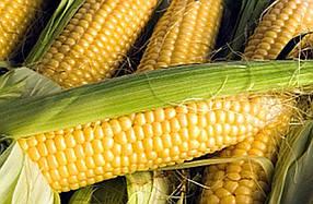 Семена кукурузы Почаевский (Почаївський) ФАО 190