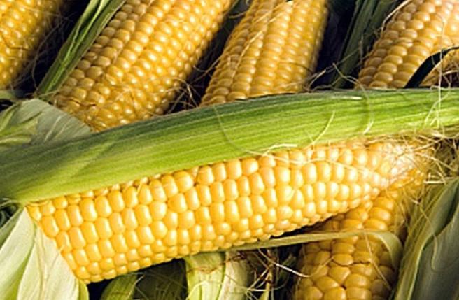 Семена кукурузы Почаевский (Почаївський) ФАО 190, 25 кг в мешке, фото 2