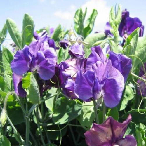 """Семена цветов Горошек душистый """"Вилла Рома"""", темно-синий, 50 шт, """"Садиба Центр """",  Украина"""