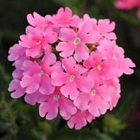 "Семена цветов Вербены ""Кварц XP F1"", розовая, однолетнее, 50 гранул, ""Садиба Центр "", Украина"