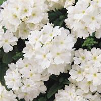 "Семена цветов Вербены ""Кварц XP F1"", белая, однолетнее, 50 гранул, ""Садиба Центр "",  Украина"