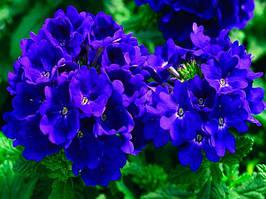 "Семена цветов Вербены ""Кварц XP F1"", синяя, однолетнее, 50 гранул, ""Садиба Центр "",  Украина"