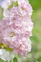 """Семена цветов Матиолы (Левкой) """"Колумн яблоневый цвет"""", однолетнее, 1 г, """"Садиба Центр """",  Украина"""