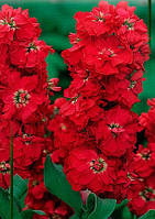 """Семена цветов Матиолы (Левкой) """"Винтаж"""", красная, однолетнее, 0.2 г, """"Садиба Центр """", Украина"""