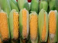 Семена кукурузы Гран 1, ФАО 370