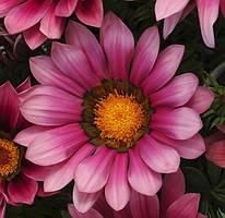 """Семена цветов Газании """"Новый день"""", розовая, однолетнее, 50 шт, """"Садиба Центр """",  Украина"""