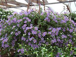 """Семена цветов Бакопа """"Блутопия"""", синяя, однолетнее, 20 гранул, """"Садиба Центр """",  Украина"""