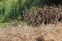 Как легко уничтожить многолетние сорняки на участке?