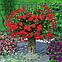 Саджанці Пеларгонія Decora Red 1шт / Рассада Пеларгония Decora Red, фото 5
