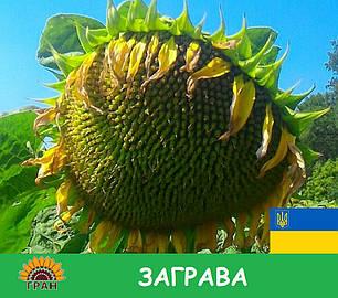 Семена подсолнечника Заграва Гран (раннеспелый), фото 2