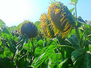 Семена подсолнечника Лейла НВФ Гран, фото 2