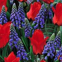 Арт-набор Али Баба 8 луковиц тюльпанов и мускари, фото 1