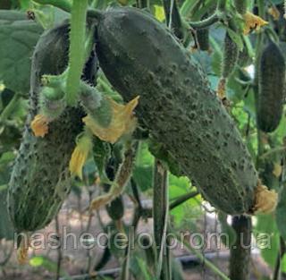Семена огурца корнишон Ленара F1 1000 семян Rijk Zwaan