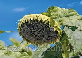 Семена подсолнечника Карат экстра (Гранстар)
