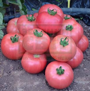 Семена томата Торбей F1 1000 семян — (70-75 дней), розовый, детерминантный, круглый Bejo, фото 2