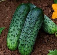 Огурец Караоке F1 Rijk Zwaan 1000 семян
