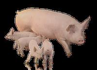 Мультиферментная добавка для свиноматок
