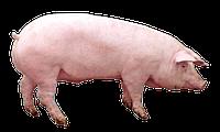 Мультиферментный комплекс для свиней