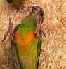 Сенегальский попугай - выкормыши