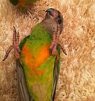 Сенегальский попугай - выкормыши, фото 1