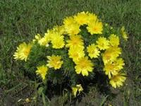 Семена Адониса весеннего 0,03 г
