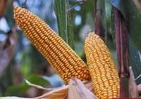 Семена кукурузы Аркади КС ФАО 300