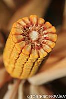 Семена кукурузы КВС 2370 Пончо ФАО 280