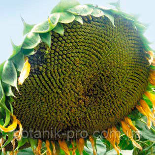 Семена подсолнечника Alfa Seeds Мишель под Евролайтинг фракция стандарт