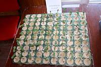 Проверка на всхожесть семена подсолнечника Аркансель