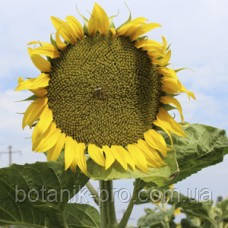 Семена подсолнечника Alfa Seeds Арлет под Евролайтинг фракция стандарт