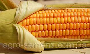Семена кукурузы Ragt Полюккс ФАО 290