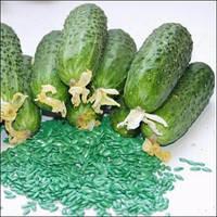 Голандське насіння огірків Амур