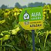 Семена подсолнечника Альзан, вегетация 101 день