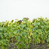 Семена подсолнечника Анцилла, устойчивый к заразихе A-G расы А-G
