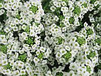Алиссум белый, семена 0,2 г