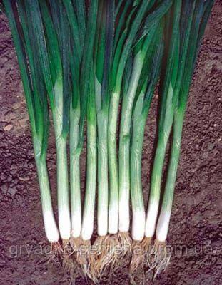 Лук на перо Параде Bejo 250 000 семян