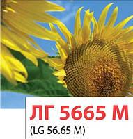 Семена подсолнечника ЛГ5665 М, Лимагрейн (LG5665 M)