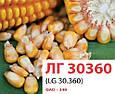 Семена кукурузы ЛГ30360/LG30.360 (ФАО 340), фото 3