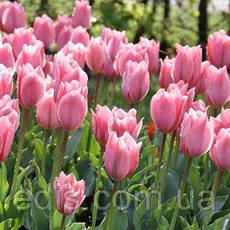 Тюльпан гибрид Фостера Albert Heijn (Альберт Хейн) 3 шт./уп., фото 2