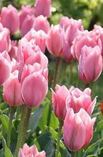 Тюльпан гибрид Фостера Albert Heijn (Альберт Хейн) 3 шт./уп., фото 3