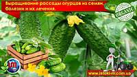 Выращивание рассады огурцов из семян, болезни рассады огурцов и их лечение
