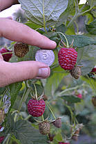 Саженцы малины сорт Полана (Polana), полуупакованные, фото 2
