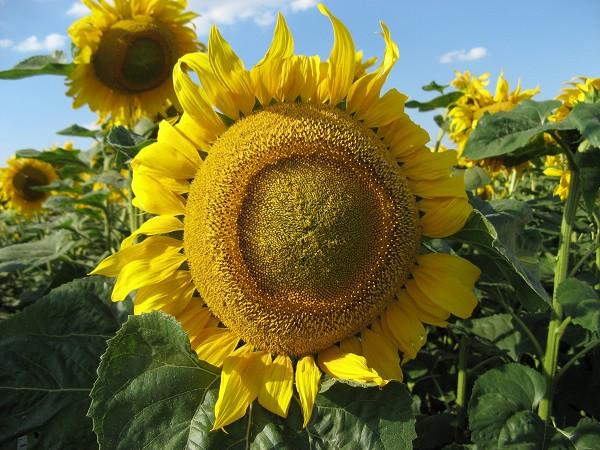 Семена подсолнечника Златсон, 105-106 дней