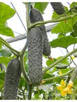 Огурец самопыляемый Мозаик Ф1 500 семян, турция