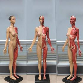 60см искусственная стандартной модели женской анатомии человека мышцы цвет