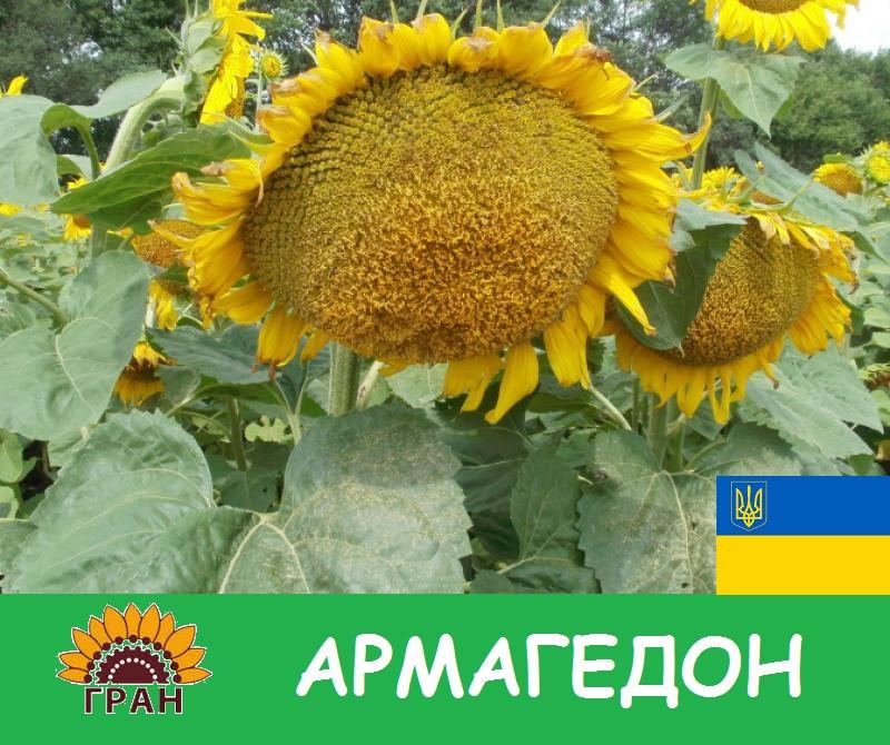 Семена подсолнечника Армагедон Гран