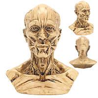 4 10 см Анатомическая анатомия человека Череп Головная мышца кости Медицинская Модель Home Decor