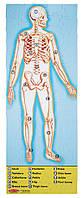 """Двусторонний пазл напольный """"Строение человека"""" 100 эл. /Human Anatomy Floor Puzzle-Double-Sided ТМ Melissa & Doug MD445"""