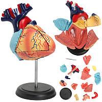 4D Anatomical Human Сердце Структурные модели Анатомия Медицинская Преподавание Школа