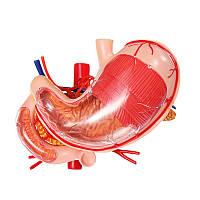 4D Master Stomach Анатомическая модель Модель анатомии человека Модель решения